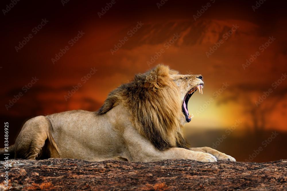 Fototapeta Lion on savanna landscape background and Mount Kilimanjaro at sunset