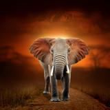Fototapeta Sawanna - Elephant on savanna landscape background and Mount Kilimanjaro at sunset