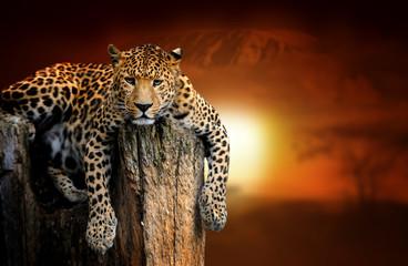 Leopard na pozadini krajolika savane i planina Kilimanjaro na zalasku sunca