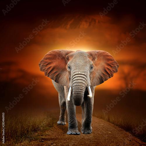 Photo sur Aluminium Elephant Elephant on savanna landscape background and Mount Kilimanjaro at sunset