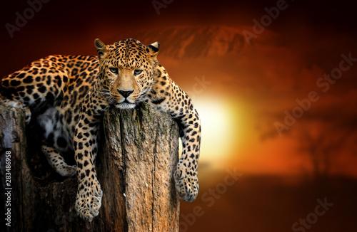leopard-on-savanna-landscape-background-and-mount-kilimanjaro-at-sunset