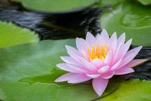 Bright Pink Lotus Flower In Pond , Tropical Natural Water Lilly Blossom In Lake Or Garden In Spring Season