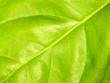 Leinwandbild Motiv Basil leaf macro for background