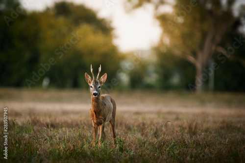 Fotobehang Ree Roe deer buck on a field