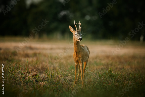 Poster de jardin Roe Roe deer buck on a field