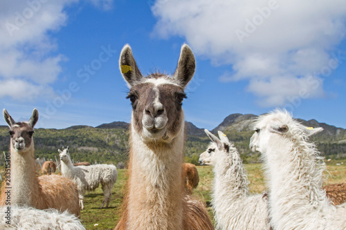 Lamas in Norwegen Canvas Print