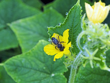 Bee Collects Nectar From A Yel...