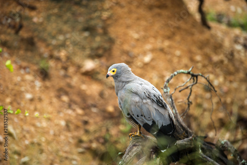Photo African Harrier Hawk On A Branch