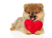 Pomeranian Spitz Puppy With Red Valentine Heart