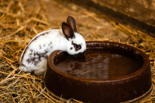 Cute White Rabbit Will Eat Water From The Tray On Brick Floor In Garden Home. White Rabbit Drinks Water