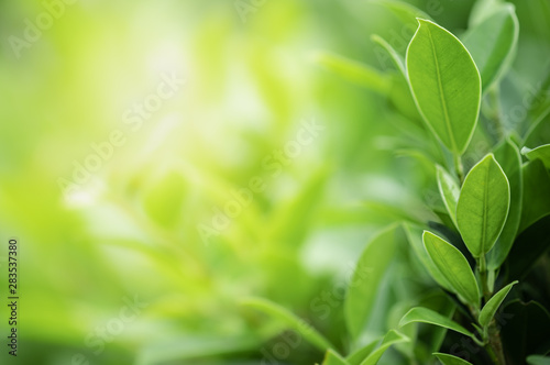 Fototapeta Closeup beautiful view of nature green leaves on blurred greenery tree background with sunlight in public garden park. It is landscape ecology and copy space for wallpaper and backdrop. obraz na płótnie
