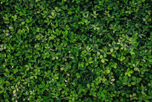 Dark Green Leaves Foliage In T...