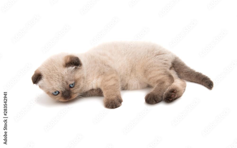 fold kitten isolated