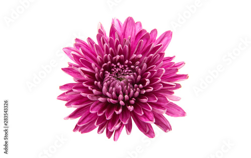 Fototapeta chrysanthemum isolated