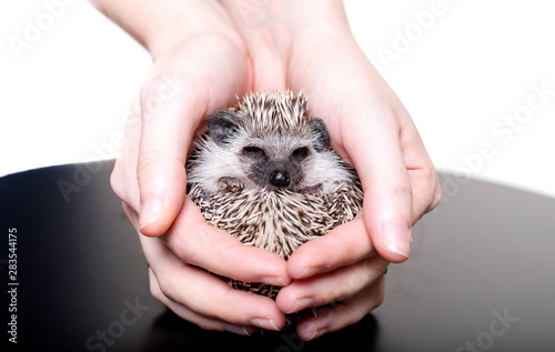 Fotografía  A small African hedgehog on a white background curled up in a ball