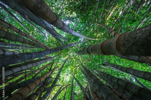 Fotografia  The infinity green of a bamboo forest.
