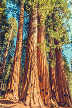 Sequoia National Park In Calif...