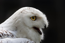 Snowy Owl (Bubo Scandiacus) Ag...