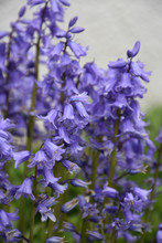 Common Bluebells Blooming And ...