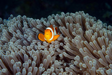 Amazing Underwater World - Western Anemonefish - Amphiprion Ocellaris. Nemo Fish In Anemone House. Tulamben, Bali, Indonesia.