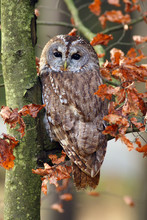 The Tawny Owl Or Brown Owl (Strix Aluco) Sitting On A Branch In The Forest. Owl With Colorfull Background.