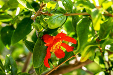 Red Flower Pomegranate  On A T...