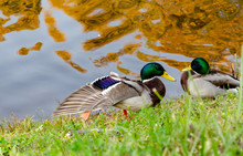 Wild Ducks On The Shore Of A Pond, Autumn Sunny Day