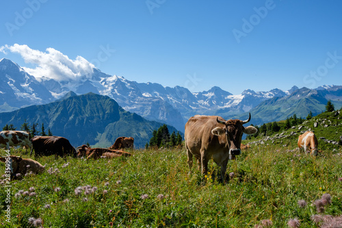 Photo Swiss cows in front of the three famous mountains Eiger, Moench, Jungfrau in the
