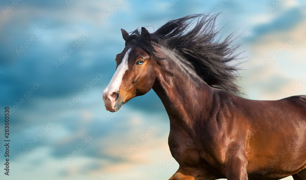 Fototapety, obrazy: Horse portrait with long mane close up in motion