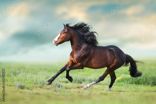 Fototapeta Horse with long mane close up run on green field obraz