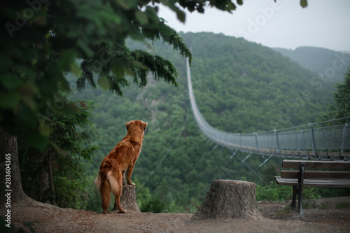 the dog at the bridge. Nova Scotia duck tolling Retriever In the beautiful and mystical landscapes. Travelling with a pet