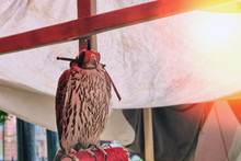 Falcon In A Mask-cap Sitting On A Perch Under A Canopy. Bird Of Prey On Falconry Resting In The Hood.