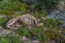Badly Decayed Moose Carcass With Exposed Rib Cage.