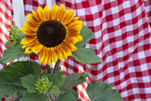Blooming Sunflower Plant At Th...