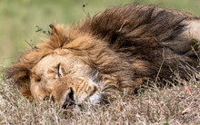Sleeping Lion Male