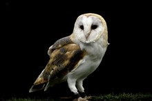 Barn Owl With A Black Background