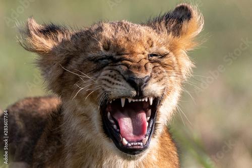 Roaring lion Fototapeta