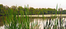 Green Reed Leaves And Lake In Background.
