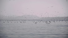 Flock Of Birds Fishing And Fly...