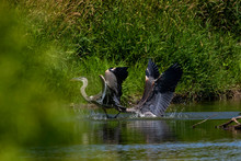 Two Young Great Blue Herons Fighting For Hunting Territory.Picture Taken From Behind A Natural Photo Blind In Wisconsin.
