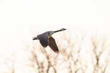 Canada Goose And White Sky
