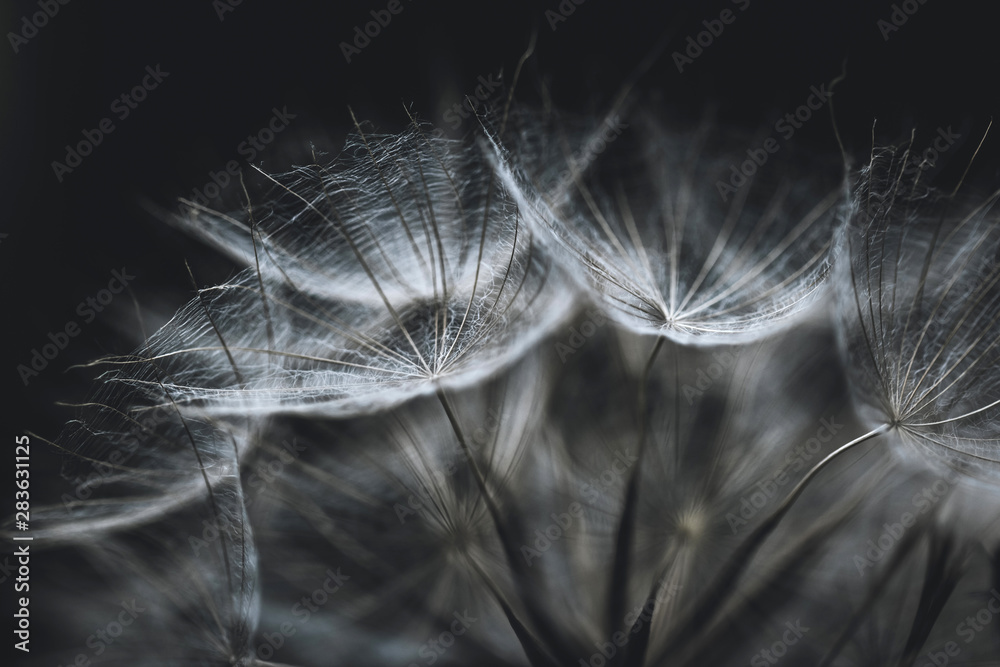 Fototapety, obrazy: Salsify seeds close up on black background. Abstract background or texture. White fluffy dry seeds of tragopogon, dandelion, goatsbeard, blowball macro. The plant looks like a spider web.