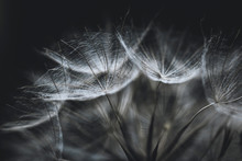 Salsify Seeds Close Up On Black Background. Abstract Background Or Texture. White Fluffy Dry Seeds Of Tragopogon, Dandelion, Goatsbeard, Blowball Macro. The Plant Looks Like A Spider Web.