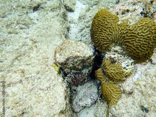 Brain coral in the ocean.