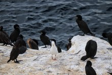 Cormorants At La Jolla Cove