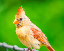 Female Cardinal Perched On Cable