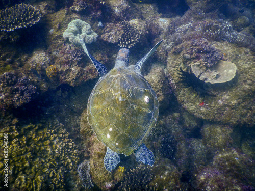 Poster Tortue Turtle swimming