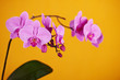 Purple orchids on yellow background.
