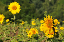 Yellow Sunflowers In Agricultu...