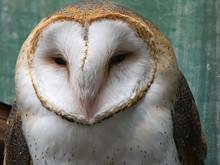 Barn Owl Up Against Bright Bar...